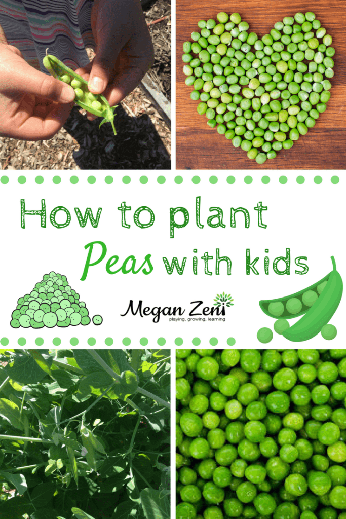 How to plant peas