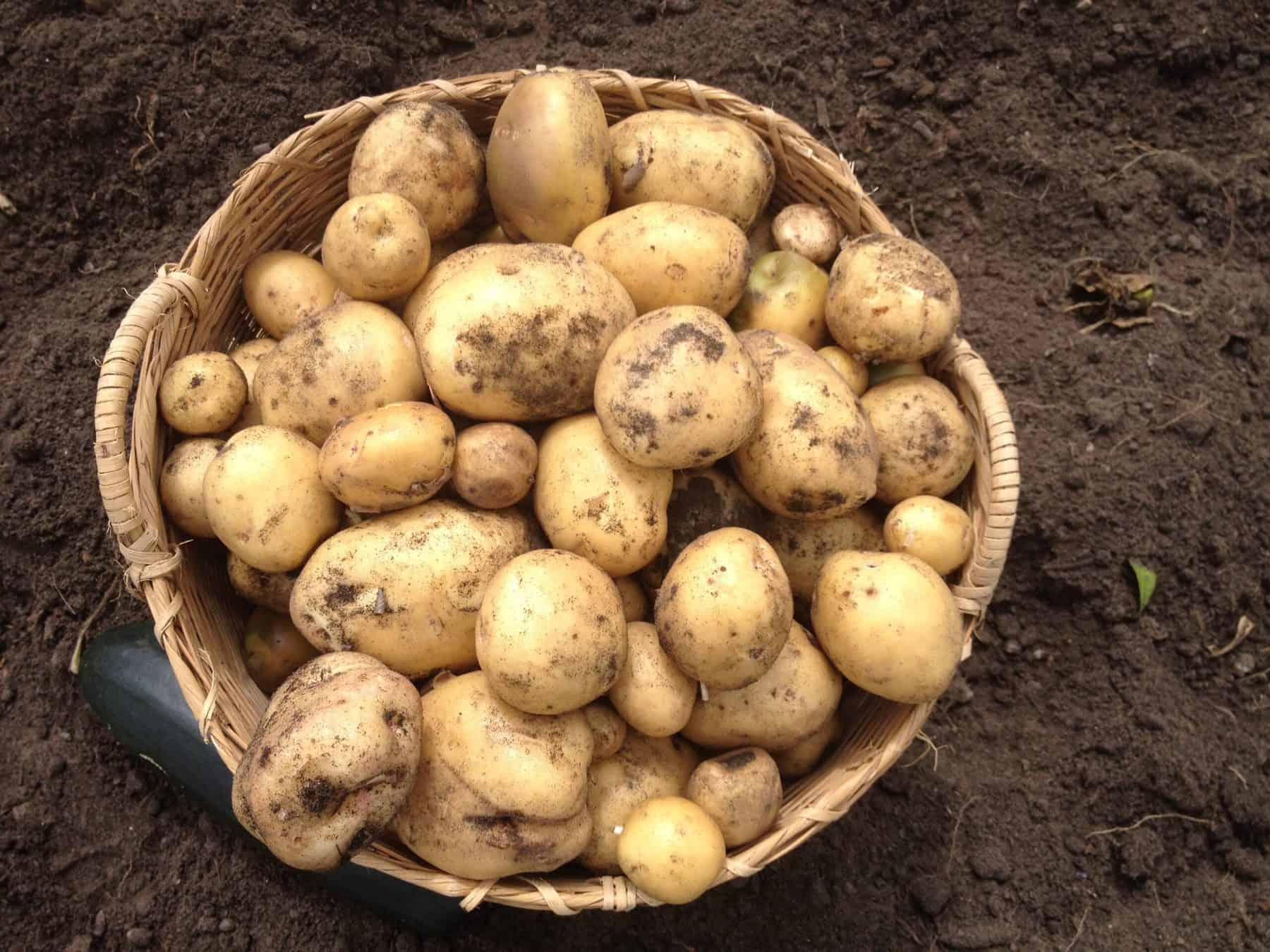 how to grow potatoes with kids