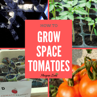 Growing space tomatoes with the Tomatosphere project